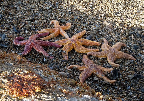23534 - Starfish, mumbles, Gower
