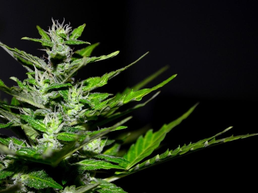 Cannabis gratuito