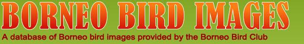 Borneo Bird Images