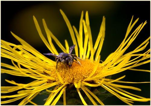 Inula magnífica, asterácea amarilla