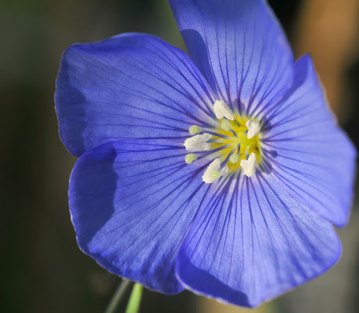 my blue flax in 2011