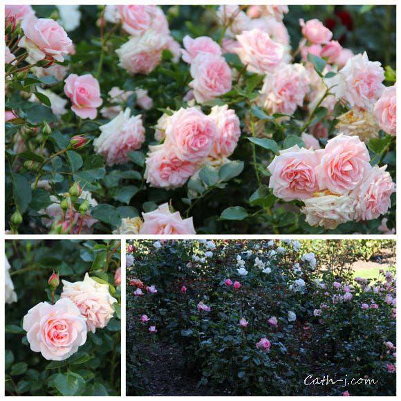 Rose Garden Invercargill Nzealand_13
