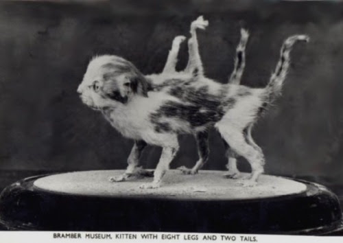 mephistopholes:  Kitten with eight legs and two tails.