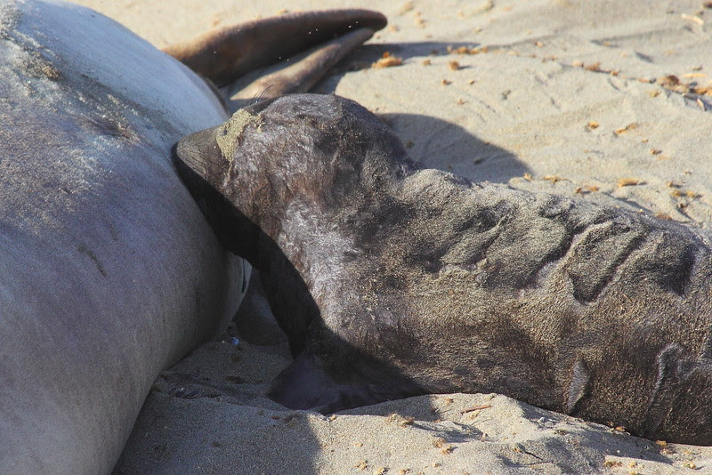 IMG_5323 Elephant Seal Pup Sucking Milk