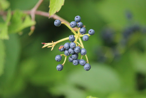 IMG_0804_Berries_at_Ouabache