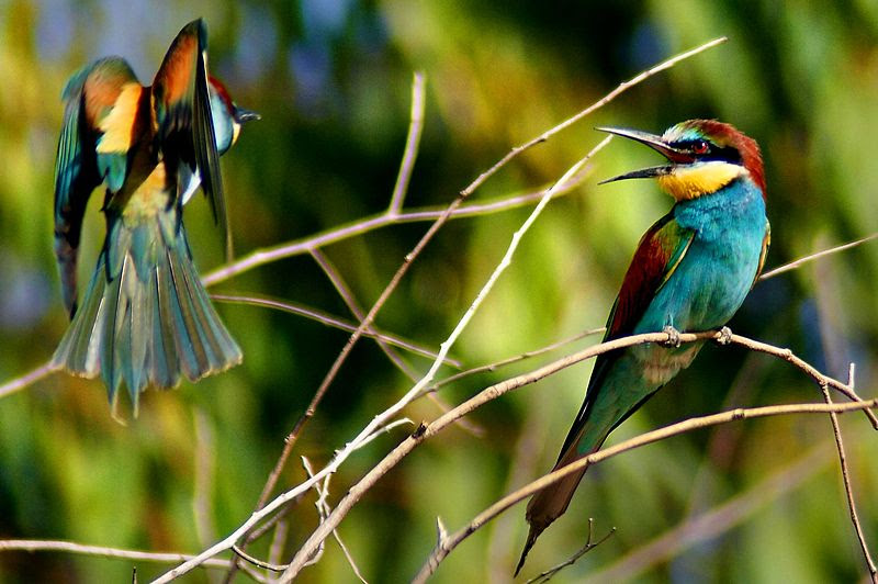 File:European Bee-eater (Merops apiaster)-8.jpg
