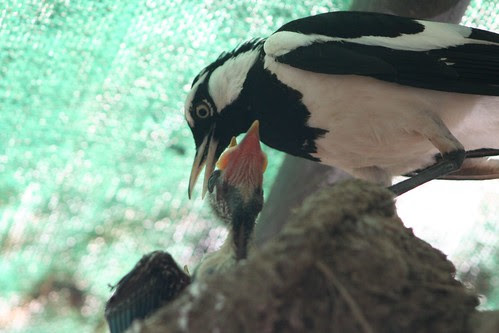 Australian Magpie-Lark chicks being fed