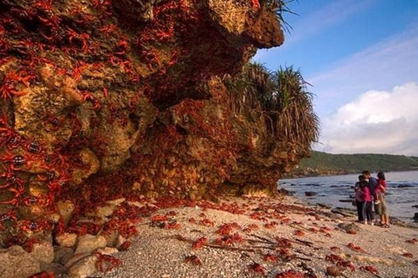 9-Christmas-Island-baby-red-crabs