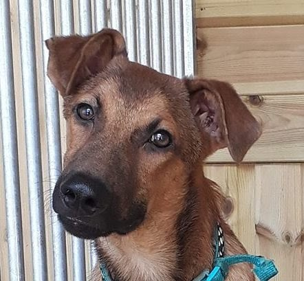 Russell – 6 month old male Pointer cross German Shepherd Dog