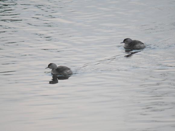 Ed Gaillard: birds &emdash; Least Grebe, New Providence, Bahamas