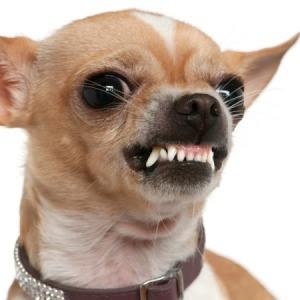 Son Los Perros Pequeños Realmente Más Agresivos Yellowblog