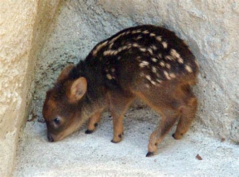 Cutest animals in the world: Pudu deer