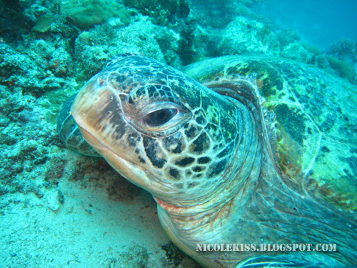 green turtle close up