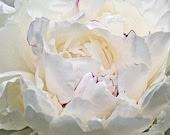 White Peony Flower Metallic Paper 5 x 7 Vintage Style Fine Art  Photograph - Celticcatphotos