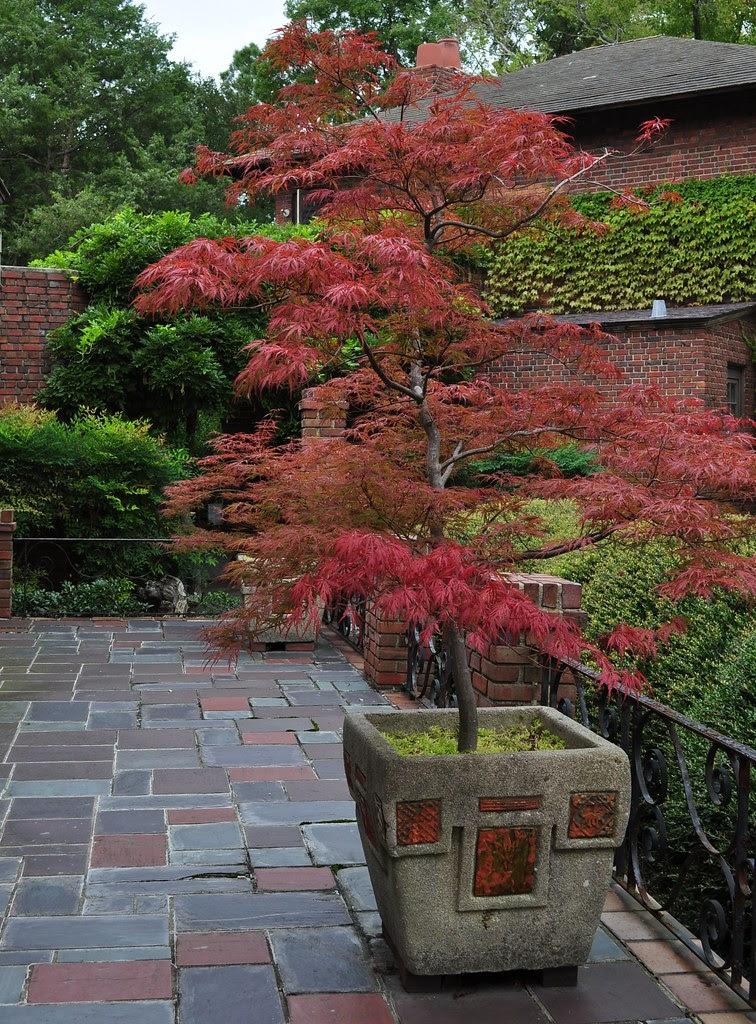 Japanese Maple 2