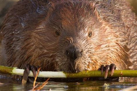 Beaver Identification   Forestry