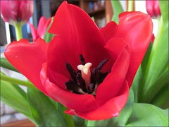 Tulip, close-up