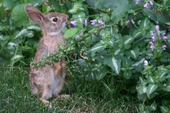 rabbit 139