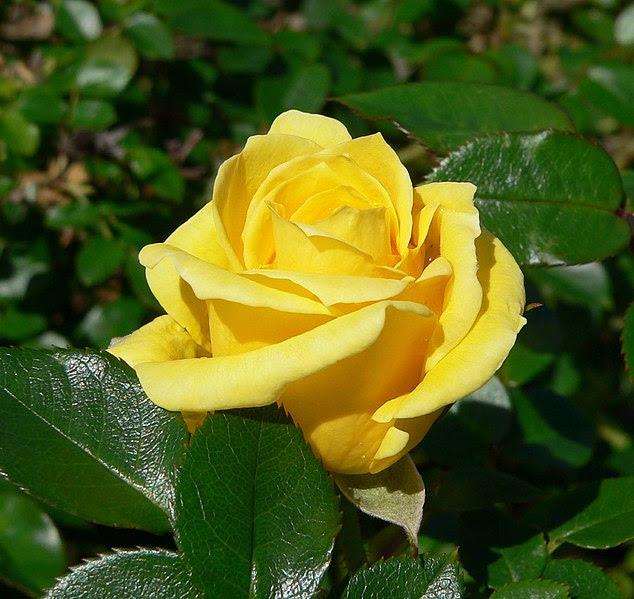 Ficheiro:Rosa Dorola 1.jpg
