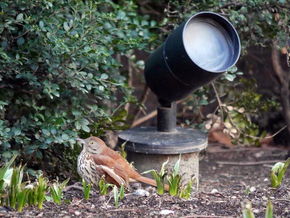 Ed Gaillard: birds &emdash; Brown Thrasher, International Paper Plaza