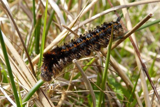 27026 - Lackey Moth Caterpillar, Isle of Mull