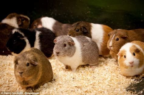 Now that's a randy rodent! Male guinea pig at animal sanctuary breaks free from his cage and