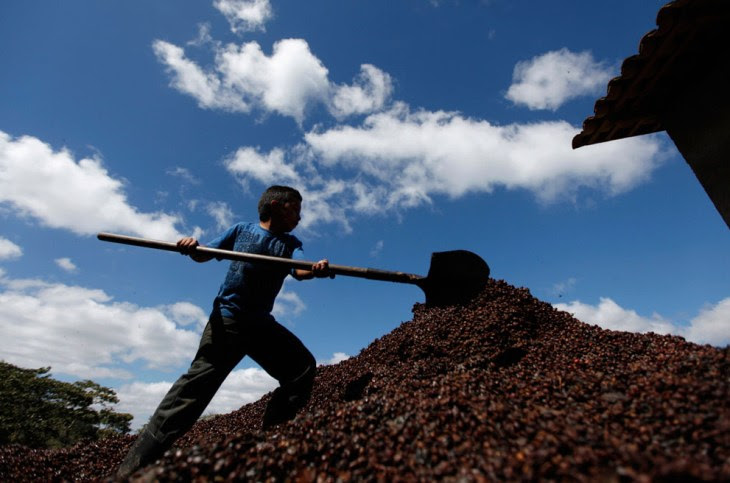 Παιδί που εργάζεται σε φυτεία καφέ στην Ονδούρα