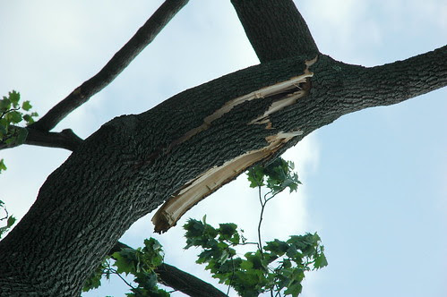Twisted and split limb of Norway maple, 125 Argyle Road
