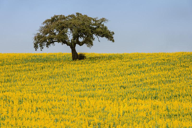Lonely tree in ALentejo, Portugal