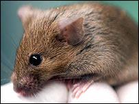 Laboratory mouse, BBC