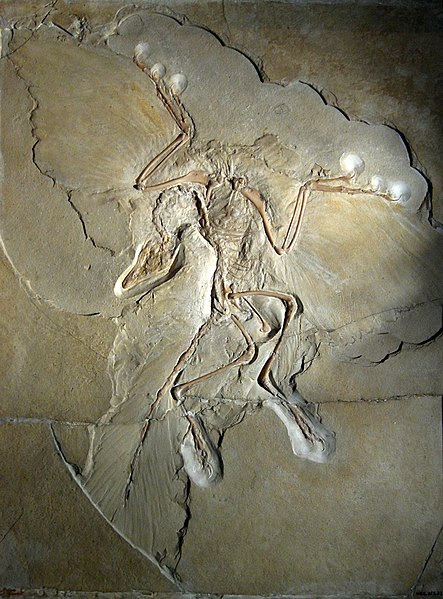 File:Archaeopteryx lithographica (Berlin specimen).jpg