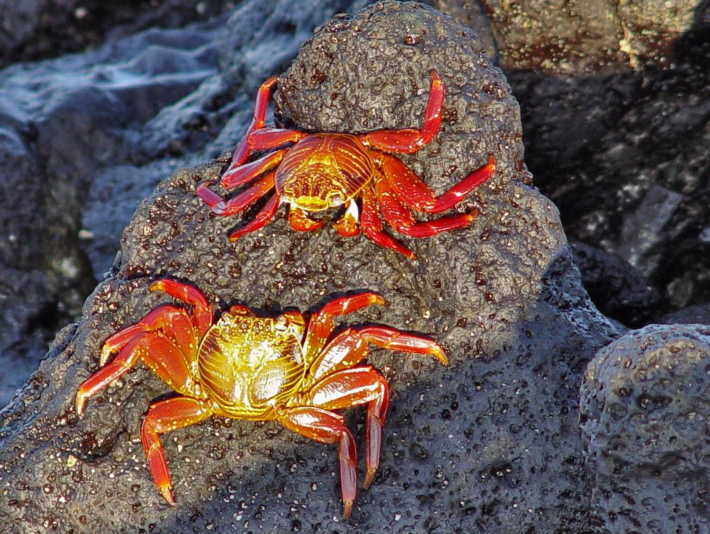 DSC00826 Galapagos Sally Lightfoot Crabs