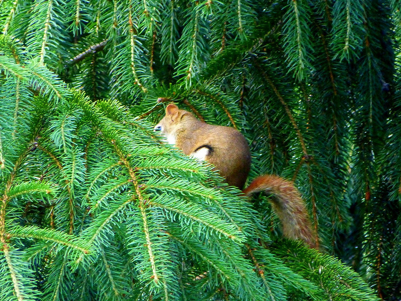 In The Pine Tree
