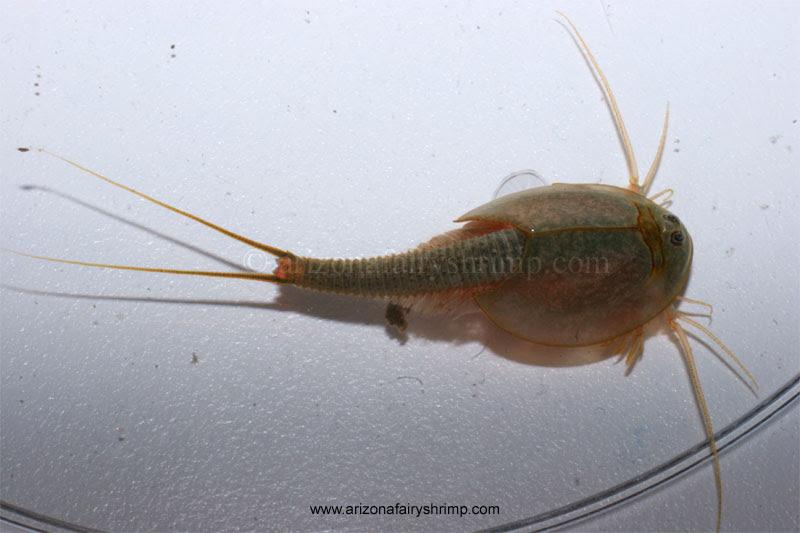 Tadpole Shrimp Triops