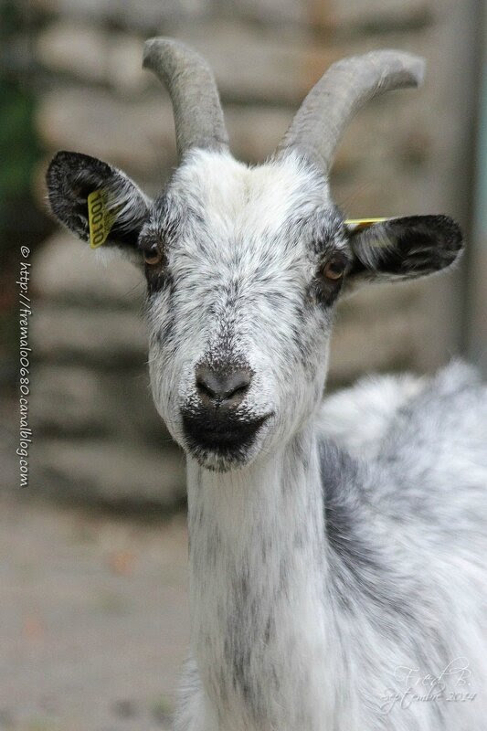 Chèvre de Lorraine ♀