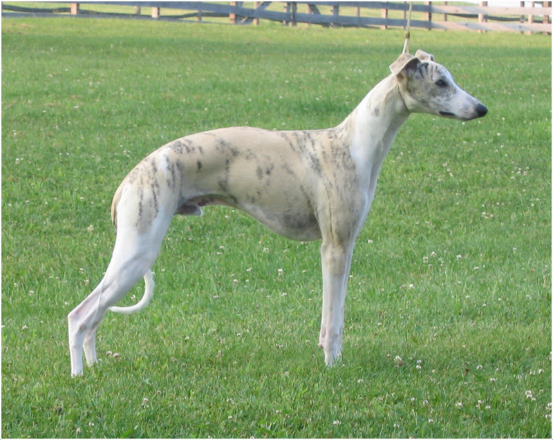 Whippet Puppies Dogs For Sale Near Me In South Dakota