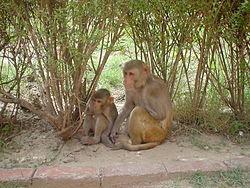 Rhesus Macaques.jpg