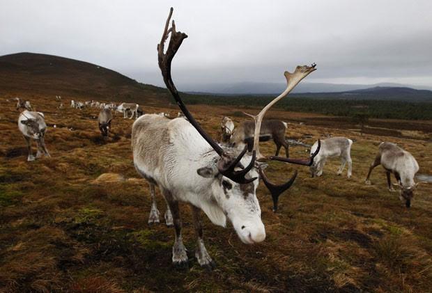 Renas são consideradas invasoras na Antártica (Foto: David Moir/Reuters)