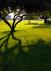 tree divine