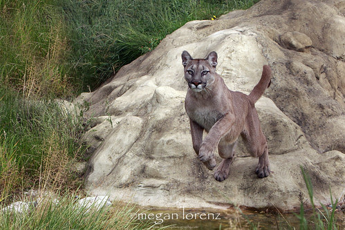 Pouncing Puma by Megan Lorenz