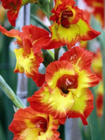 When Do Gladiolus Flowers Bloom Hunker