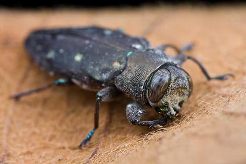 Jewel beetle Buprestidae...IMG_0062 copy