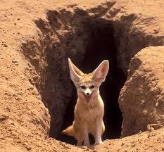 gambar binatang buas, jenis rubah, foto hewan gurun, tanah tandus, keajaibah Alam, hewan yang kuat luar biasa menakjubkan