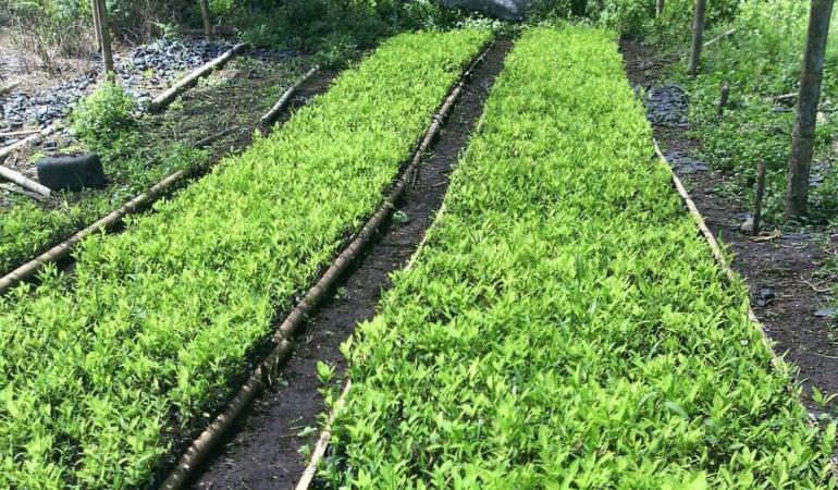 Resultado de imagen para Cultivos de coca