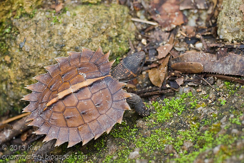 Spiny terrapin ...IMG_0912 copy