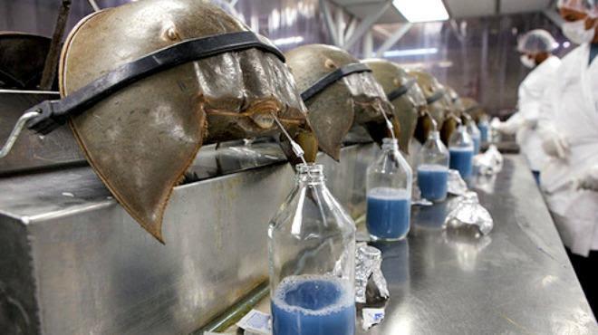 Caranguejo-ferradura Límulo sangue azul