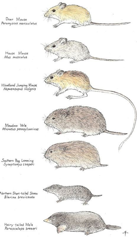 Mice   All About the Different Types of Mice   Do My Own Pest Control