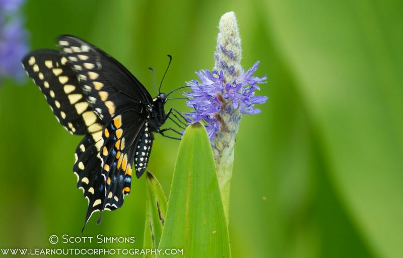 Black Swallowtail, Papilio polyxene
