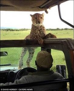 cheetah 10