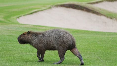 Olympic Golf Course Overrun With Large Rodents   NBC New York